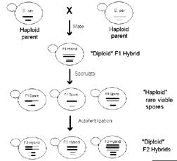 Figure 1: Process to create hybrid yeast species